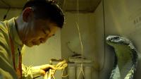 眼镜蛇一年不进食仍旧凶猛, 广州蛇王束手无策