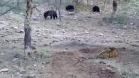 老虎偷袭熊仔, 被熊发现追着跑, 谁才是王者一看就知道了