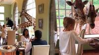 """""""厚颜无耻""""的长颈鹿, 把脖子伸进酒店偷吃早餐"""