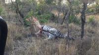豹子碰见死斑马 斑马尸体突然爆炸吓坏豹子