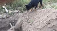 催人泪下! 黑狗用鼻子刨土埋葬它的朋友
