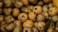 这么小的树摇一下掉了上千个山楂, 湖南农村最好吃的野果