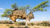 非洲鸟儿造豪华鸟巢可以使用100年, 比咱们房子还结实?