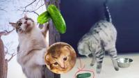 笑死不偿命 有毒! 猫星人最怕的竟然是黄瓜你造吗?