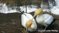 繁殖季节中的塘鹅, 奥克兰鸟岛