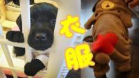 【拉布拉多 小7日记】2018.1.12可爱宠物衣服