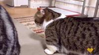 #猫咪##宠物猫##萌宠##喵星人#第一次看到腿這麼短的猫。好萌好肥好可爱