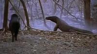 史上最恐怖的科莫多巨蜥吃野牛, 野牛直接痛晕, 冷血动物喝着热血