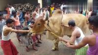 看国外农村如何杀牛, 牛倒地了就没有再起来