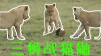 三只狮子曾经是王者, 直到遇见了一只猫鼬……