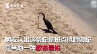 罕见! 海鸟吞下致命毒蛇 蛇不仅活着还试图从喉咙里钻出