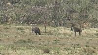 非洲大陆实拍狒狒PK豪猪, 尘土飞扬激战惨烈