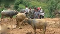 实拍越南农村斗牛现场, 家家户户把牛牵来, 场面实在壮观!