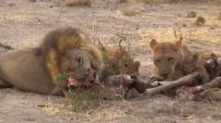 饥饿的狮群与鬣狗们的争食, 高清
