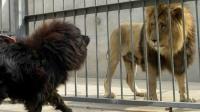 野性难驯, 200斤凶猛大藏獒隔笼挑战霸气十足的非洲狮子