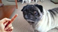 千万不要对狗狗竖中指! 即便是主人它也会狂咬!