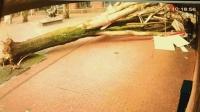 幸运女神的眷顾! 监拍女子推婴儿车险被倒塌大树砸倒