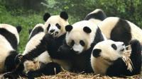 世上最萌动物排行榜, 大熊猫只能排第三?