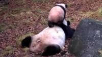 熊猫香香真是个乖女儿, 还知道给妈妈踩背, 画面太有爱了!