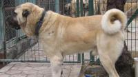 凶猛异常的大型猛犬, 土耳其坎高活活咬死残暴的恶狼