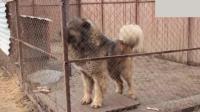 高加索牧羊犬发怒到底多吓人? 隔笼子也要站十米开外看