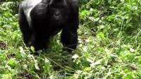 唯一会讲话的猩猩, 女子喂养46年, 学会上手语, 能与人正常交流