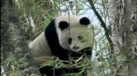 熊猫妈妈偷偷跟踪独立的熊猫宝宝, 这画面太感人了, 妈妈的爱无私