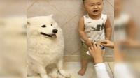 主人不给萨摩吃零食, 宝宝都急哭了, 从小一块长大的就是亲