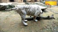 南宁动物园的大白虎, 百兽之王威武霸气