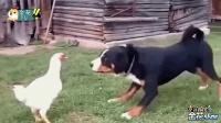 爆笑动物四川话配音: 公鸡大发神威吓坏土狗, 笑得肚儿痛!