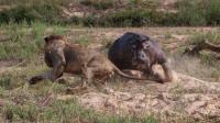 慎入: 饿疯的狮子想吃河马, 被河马一口咬!