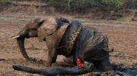 你见过蟒蛇吞大象吗? 看看我们的专家怎么说!