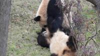 熊猫成双成对在长沙, 一言不和就揍对方