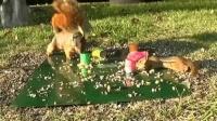 【嗅君葩闻】逗趣! 美国松鼠为争食物用弹簧玩具弹飞花栗鼠