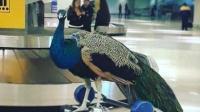 美国艺术家欲携孔雀登机遭航空公司拒绝