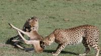 动物世界: 牛羚幼崽天生开挂 成功逃脱鬣狗猎豹豺狼围捕, 精彩