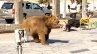 """濒危棕熊""""越狱"""" 在伊拉克街头游荡"""