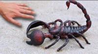 搞笑兄弟, 拿回来一只蝎子, 害死自己了