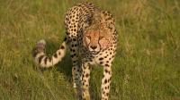 季节到了, 雄狮公豹都是异常的狂暴, 为了迎接新生命雌性只能忍受