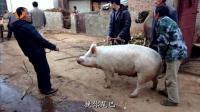 百嘴客: 《今年春-杀猪》毕节话诗朗诵, 解析杀年猪全程