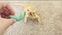 国外男子养了一只蜥蜴, 他每天都用手拿着毛毛虫喂养它