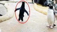 网友偶遇一只史上最不正经的企鹅