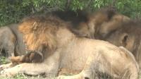 狮子界最蠢的雄狮, 只顾着咬头, 肉都被同伴吃完了