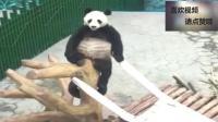 我再说一遍, 这只熊猫是真的, 是真的, 真是让人尴尬了!