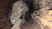 一只狗掉进树洞, 被卡20年才被发现, 距今有60年了!