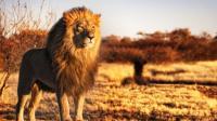 世界上最大的狮子, 灭绝150年