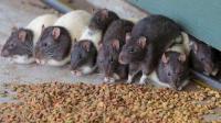 农村土方杀灭老鼠, 只需大米加它! 灭鼠率百分百!