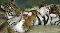 母老虎丧子伤心欲绝, 动物园让小猪穿上虎皮, 真当老虎傻?