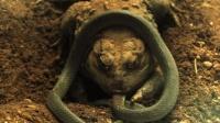 世界上最奇葩的动物 琵琶蟾蜍