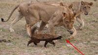 非洲我平头哥, 见狮子不怂, 遇鬣狗不惧, 碰到蟒蛇直接吃掉